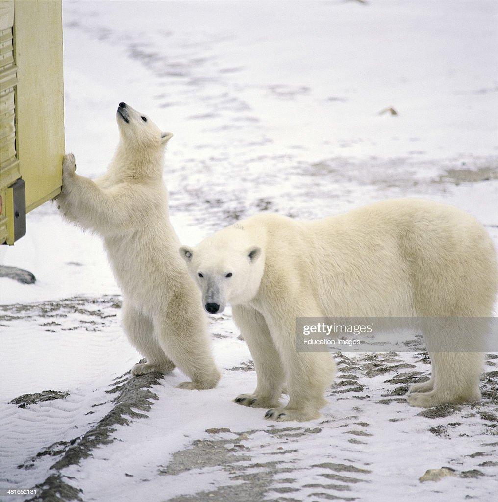 Polar Bear, Ursus maritimus at the Tundra Buggy : News Photo