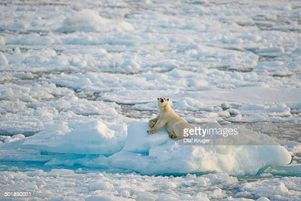 Polar bear -Ursus maritimus-, male basking on an ice floe, pack-ice, Spitsbergen, Svalbard Islands, Svalbard and Jan Mayen, Norway