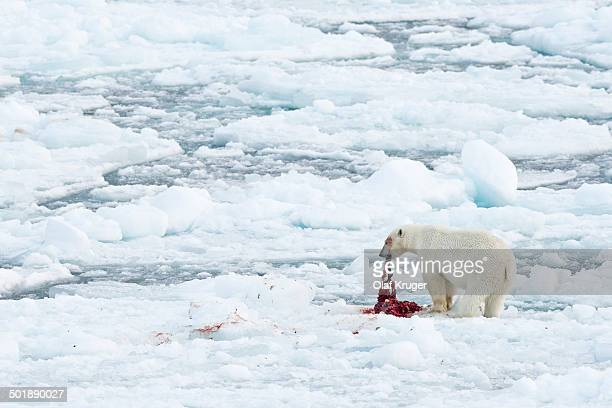 polar bear -ursus maritimus-, male feeding on the remains of a preyed seal, pack-ice, spitsbergen, svalbard islands, svalbard and jan mayen, norway - animal digestive system stock photos and pictures