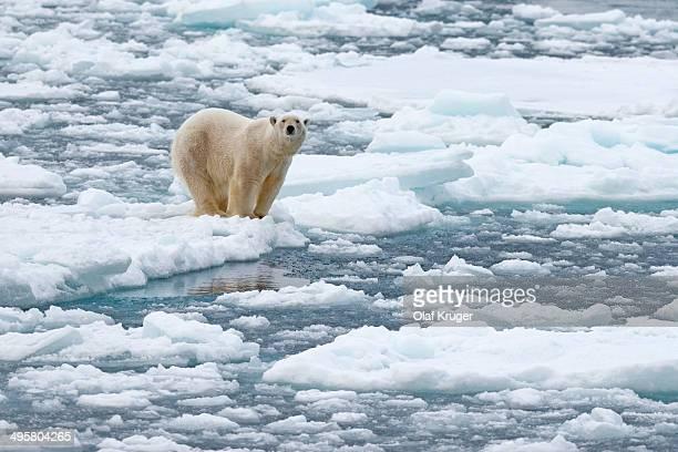 Polar Bear -Ursus maritimus-, male on pack ice, Spitsbergen Island, Svalbard Archipelago, Svalbard and Jan Mayen, Norway