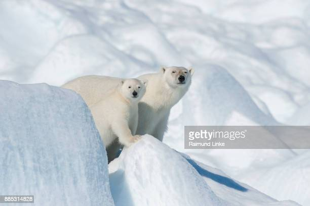 polar bear, ursus maritimus, mother with cub, north east greenland coast, greenland, arctic - east stock photos and pictures