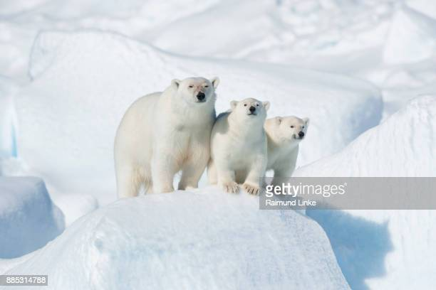 polar bear, ursus maritimus, mother with two cubs, north east greenland coast, greenland, arctic - east stock photos and pictures