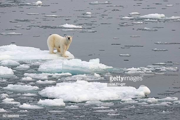polar bear -ursus maritimus- on pack ice, spitsbergen, svalbard archipelago, svalbard and jan mayen, norway - pack ice stock pictures, royalty-free photos & images