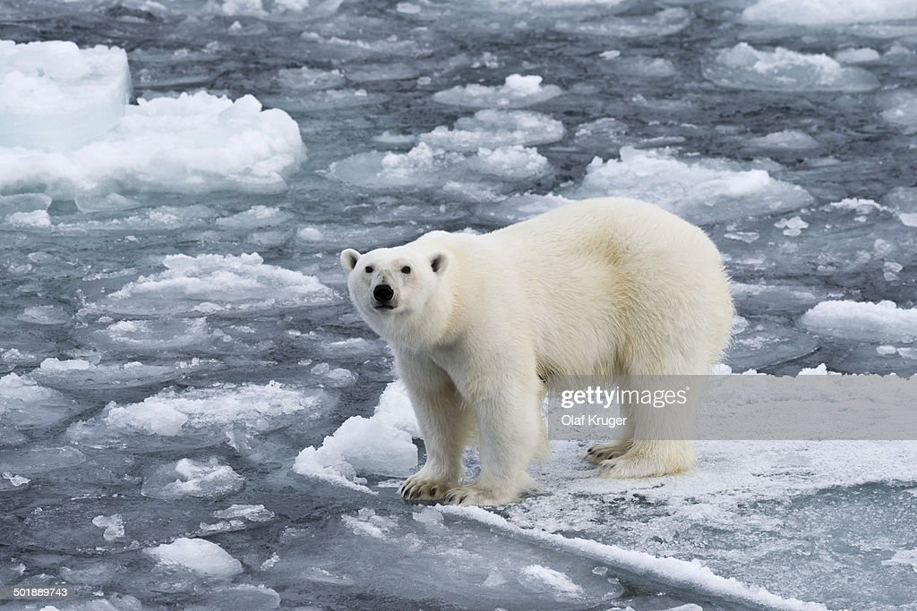 Polar bear -Ursus maritimus- on pack-ice, Spitsbergen, Svalbard Islands, Svalbard and Jan Mayen, Norway : Stock Photo