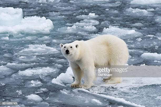 Polar bear -Ursus maritimus- on pack-ice, Spitsbergen, Svalbard Islands, Svalbard and Jan Mayen, Norway