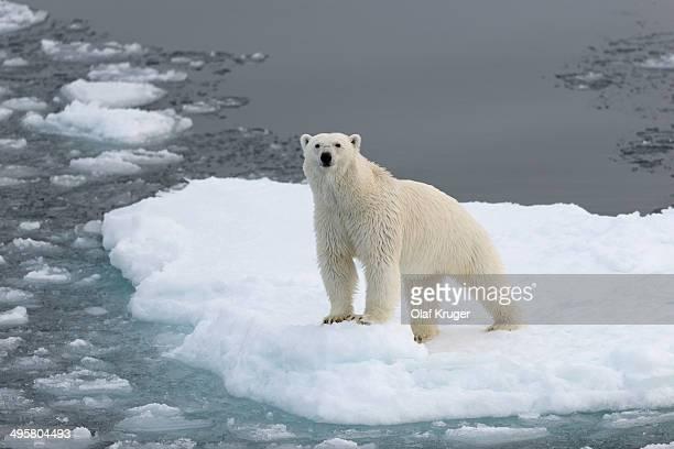 polar bear -ursus maritimus- standing on pack ice, spitsbergen island, svalbard archipelago, svalbard and jan mayen, norway - pack ice stock pictures, royalty-free photos & images