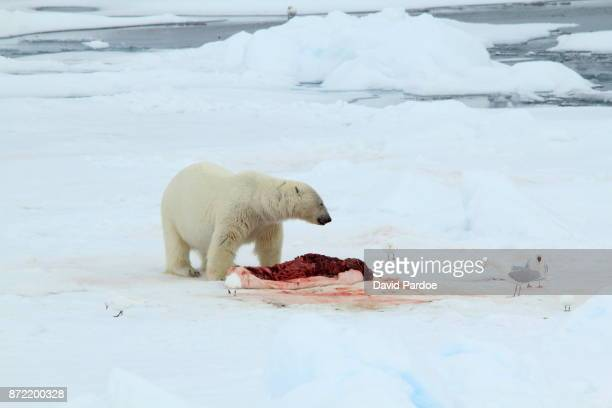 Polar Bear vs Gulls