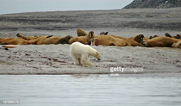 polar bear vs walrus - walrus stock pictures, royalty-free photos & images