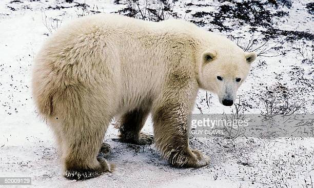 A polar bear waits for the water to freeze on the edge of the Hudson Bay near the city of Churchill Manitoba Canada Several hundred of the white...
