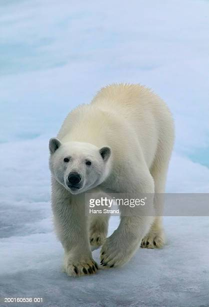 polar bear (ursus maritimus) walking across ice floe - ice floe stock pictures, royalty-free photos & images