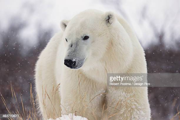 Polar Bear (Ursus Maritimus) Walking Along Hudson's Bay