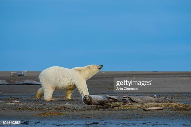 Polar Bear walking at the Alaska beach
