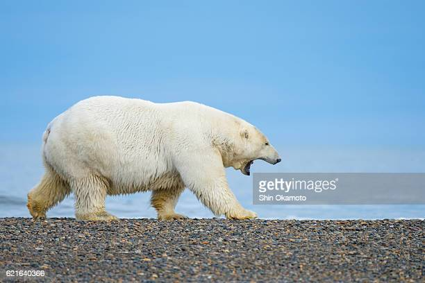 Polar Bear walking at the Alaska beach