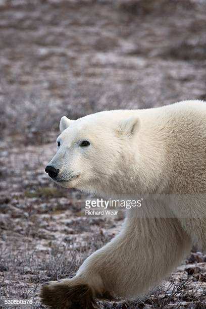 Polar Bear Walking, Churchill, Manitoba, Canada