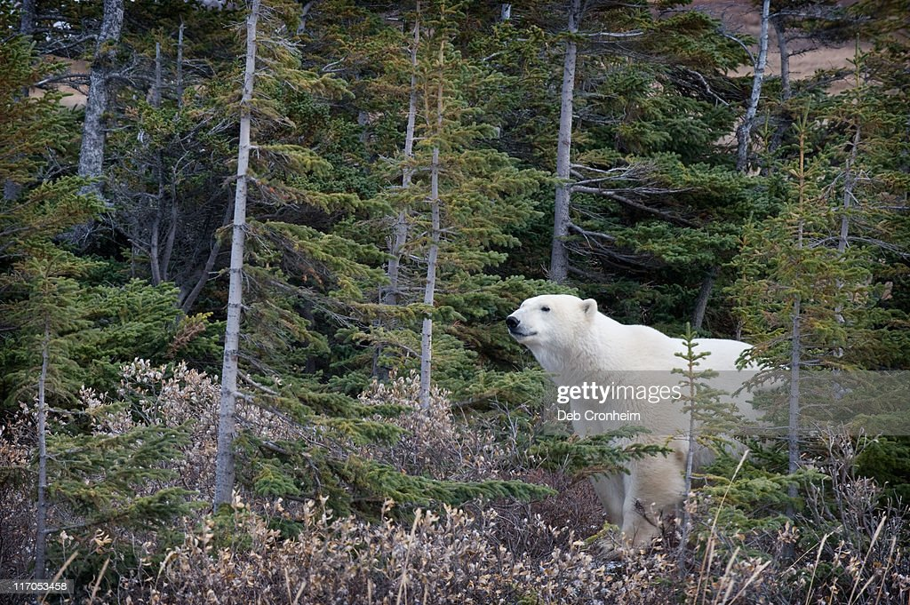 boreal forest stock photos and pictures getty images