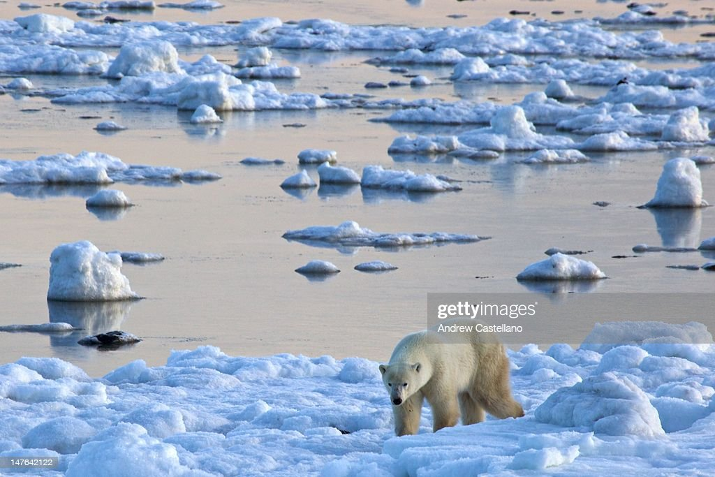 Polar bear walking in strange snowy landscape : Stock Photo