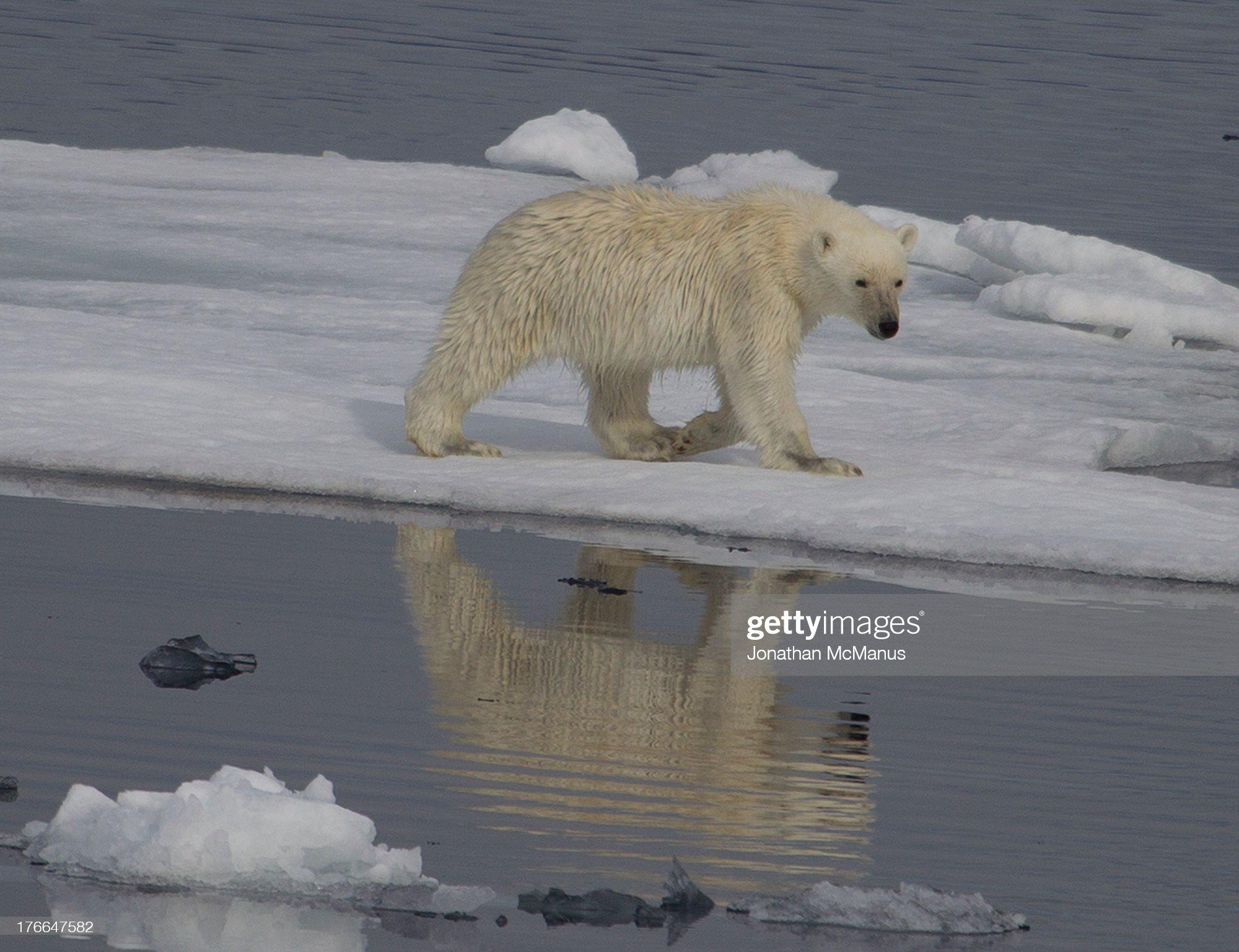 Polar bear with reflection on ice in Greenland : Foto di attualità