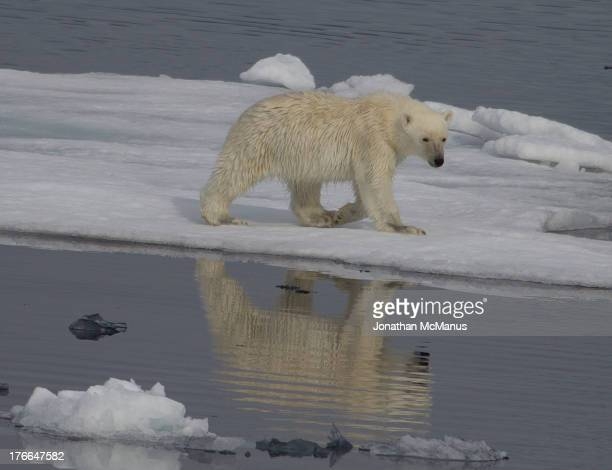 Polar bear walking on ice off the coast of North East Greenland. The bear is reflected in the calm ocean.
