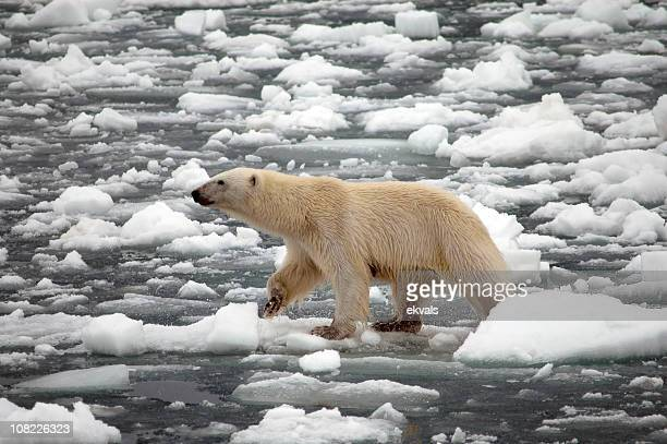 polar bear walking on melting snow and ice - glacier stock pictures, royalty-free photos & images