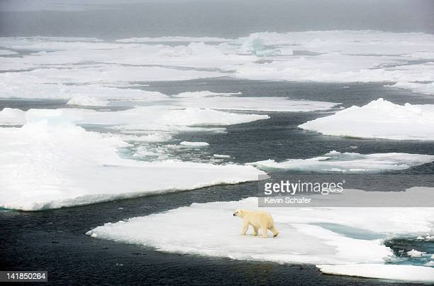 polar bear (ursus maritimus) walking on pack ice, 81 degrees north, svalbard, arctic norway - pack ice stock pictures, royalty-free photos & images