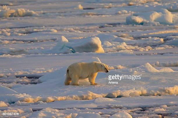 Polar bear walking on pack ice at sunset Svalbard Norway