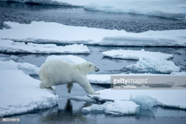 polar bear walking on pack ice. - spiegelung stock pictures, royalty-free photos & images