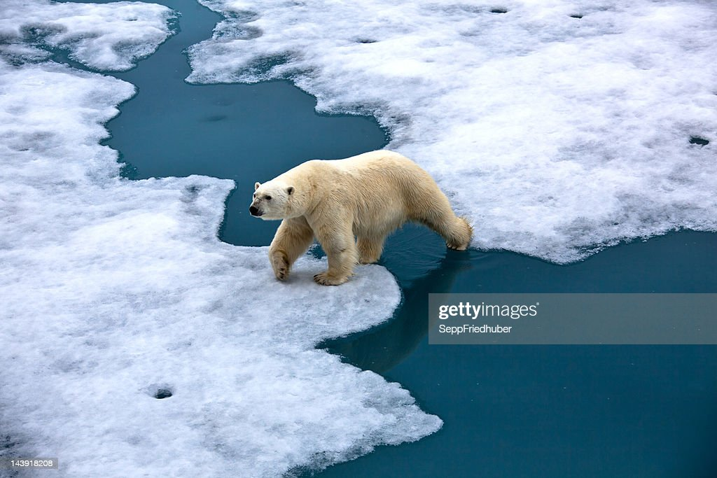 Polar bear walking on pack ice with water pond : Stock Photo