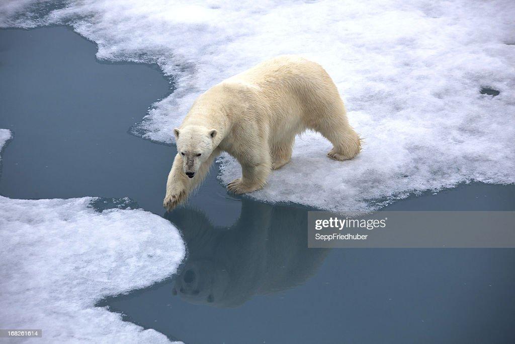 Polar bear auf Packeis mit Teich : Stock-Foto