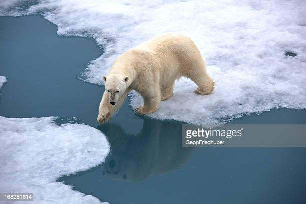 polar bear walking on pack ice with water pond - climate change stock pictures, royalty-free photos & images