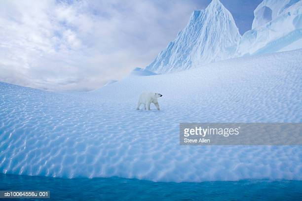 polar bear (alopex lagopus) walking on snow - polar bear stock pictures, royalty-free photos & images