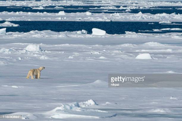 polar bear walking on the pack ice pack  at svalbard - spitsbergen stock pictures, royalty-free photos & images