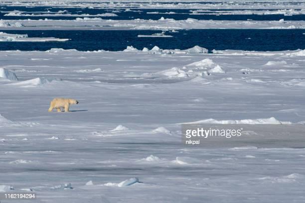 eisbär läuft auf der packeispackung bei svalbard - polarklima stock-fotos und bilder