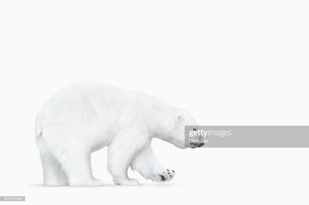 Polar bear walking on white background : Stock Photo
