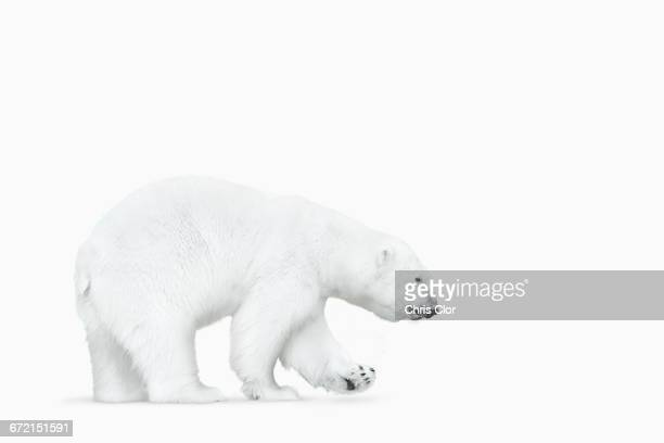 Polar bear walking on white background