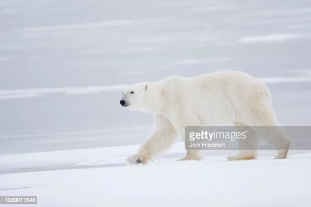 polar bear (ursus maritimus) walking over the ice, churchill, manitoba, canada - vista lateral stock pictures, royalty-free photos & images