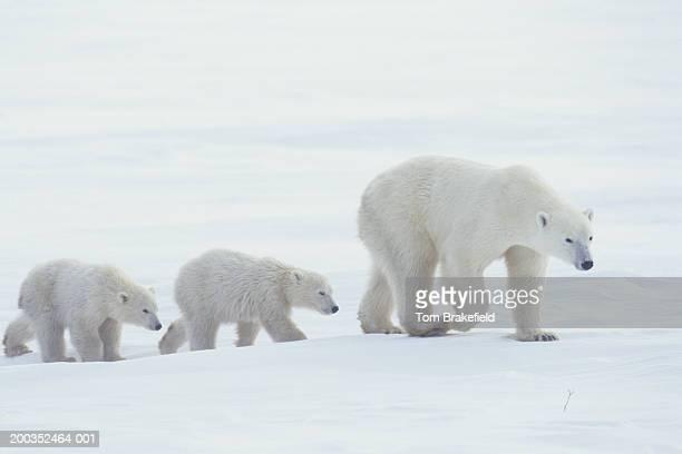 Polar bear (Ursus maritimus) walking with cubs, Canada