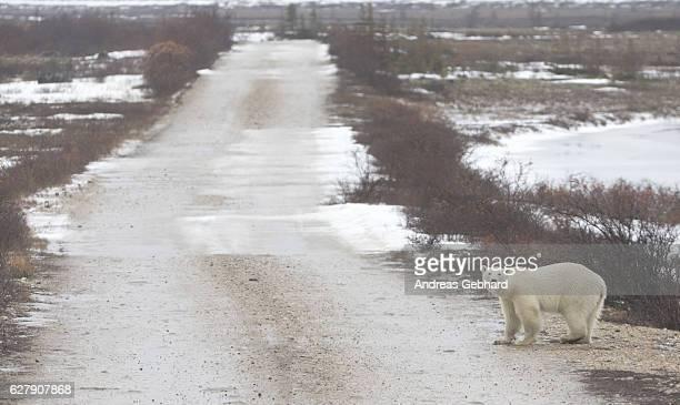 polar bear walks across frozen tundra - manitoba stock pictures, royalty-free photos & images