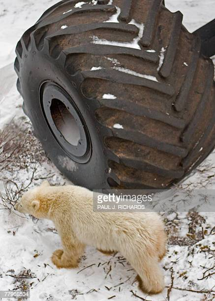 A polar bear walks by one of the large tires of the Tundra Buggy's that take tourists on polar bear tours on the shores of Hudson Bay as the bears...