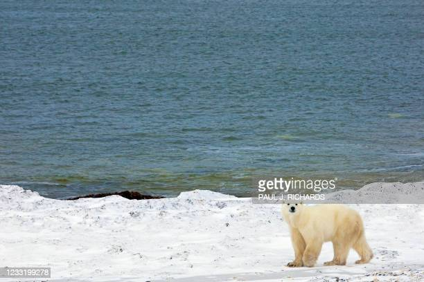 Polar bear walks next to the Hudson Bay waiting for the bay to freeze, 13 November 2007, outside Churchill, Mantioba, Canada. Polar bears return to...