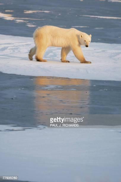 Polar Bear walks on part of a frozen lake migrating North 14 November 2007 as Hudson Bay freezes outside Churchill, Manitoba, Canada. Thousands of...
