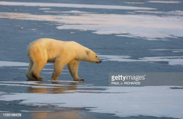 Polar Bear walks on the frozen tundra on the edge of Hudson Bay waiting for the Hudson Bay to freeze-over 14 November 2007 outside Churchill,...