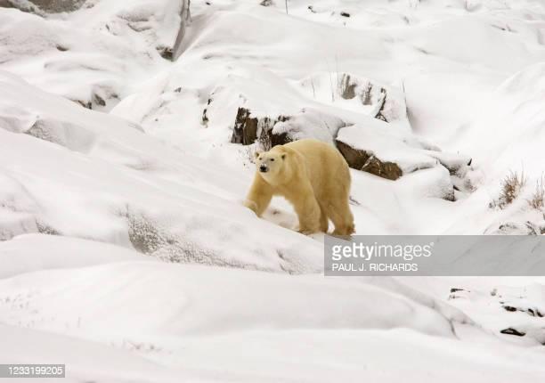 Polar bear walks on the rocky shoreline of the Hudson Bay, 12 November 2007, outside Churchill, Mantioba, Canada. Polar bears return to Churchill,...