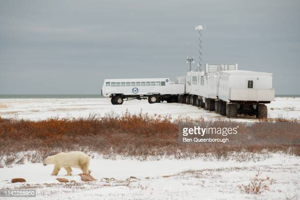 Churchill, Canada - October 25, 2018: Polar Bear (Ursus maritimus) walks past tundra buggy lodge