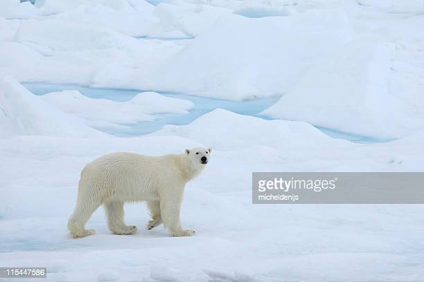 A polar bear wandering in the Arctic ice