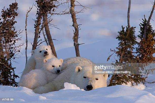 polar bear with cubs, (ursus maritimus), churchill, manitoba, canada - manitoba stock pictures, royalty-free photos & images
