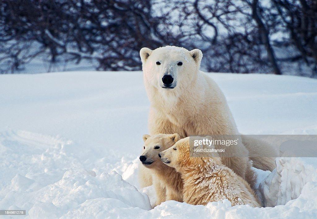 Polar Bear with Cubs : Stock Photo
