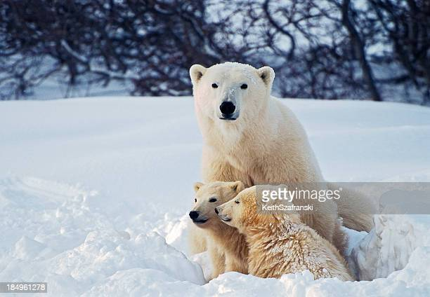 Polar Bear mit Cubs