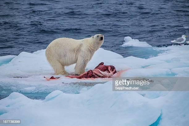 Polar bear with kill on an ice flow