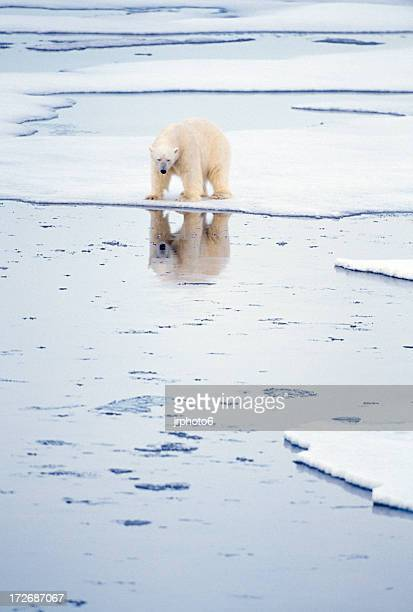 polar bear with reflection - climate stock pictures, royalty-free photos & images