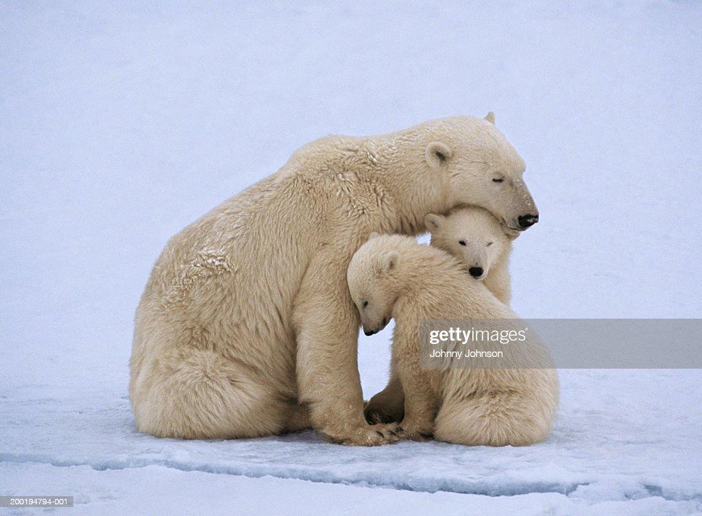 Polar bear with twin cubs (Ursus maritimus) : Stock Photo